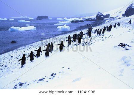 March Of The Penguins; Adelie Penguins, Moving Down To The Shoreline,
