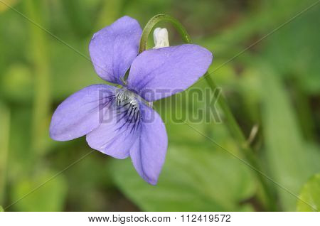 Common Dog-violet