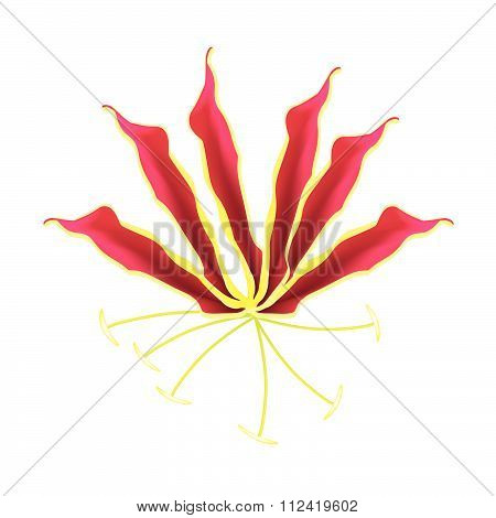 Flame Lily Or Gloriosa Superba Flower On White Background