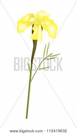 Yellow French Marigold Flower On White Background