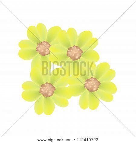 Fresh Yellow Yarrow Flowers Or Achillea Millefolium Flowers