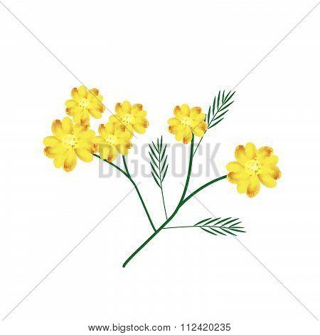 Blossoming Of Yellow Yarrow Flowers Or Achillea Millefolium Flowers