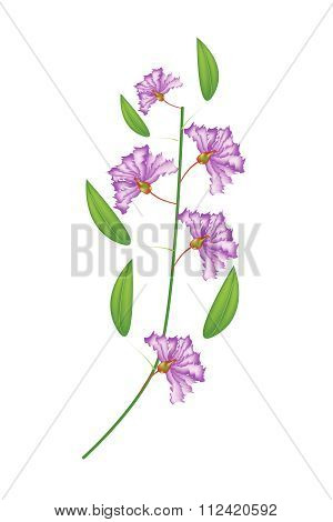 Bunch Of Purple Crape Myrtle Flowers On White Background