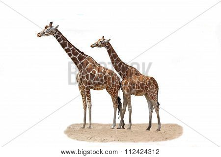 two giraffe on a white background