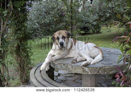 Mastiff On A Table