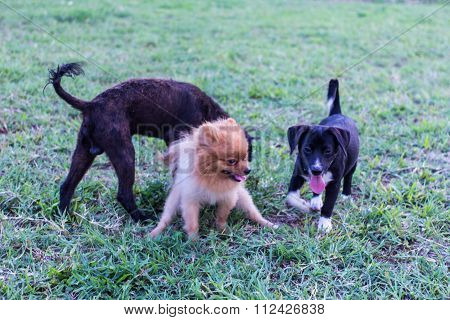 Pomeranian Dog With Frend In Lawn, Cute Pet