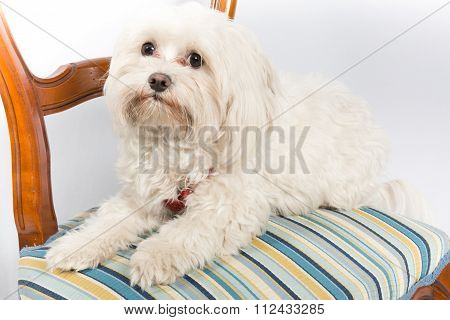 Maltese Dog, Sitting In Front Of White Background On Chair