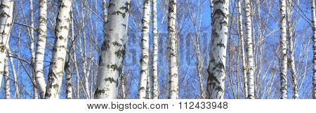Trunks of birch trees against the blue sky in early spring