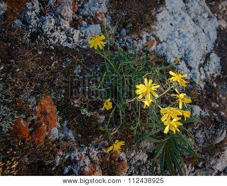 Late Summer Flowers, Olkhon, Baikal, Russia