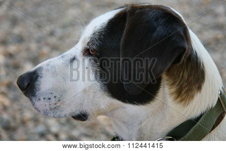 Mongrel Dog Portrait