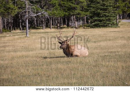 Deer resting. Red deer antlered lying in the grass on the edge of the forest.  Jasper National Park in the Rocky Mountains
