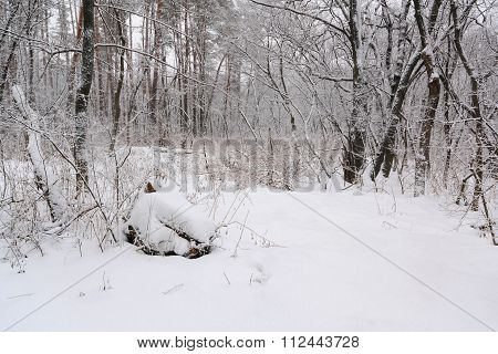 Snow Winter Forest