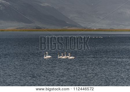 Icelandic Whooper Swan Family At Lake In Evening, Iceland, Summer, 2015