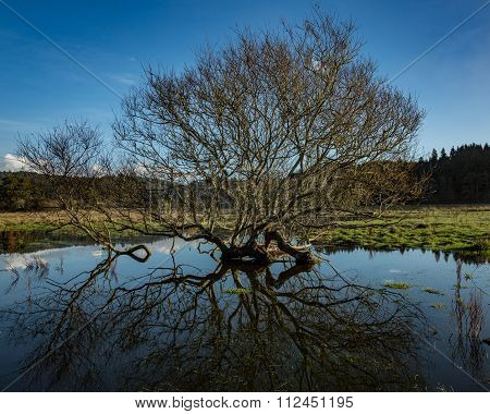 Tree Reflection in Rainwater