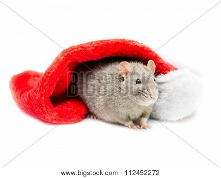 Gray Rat Under Christmas Stocking
