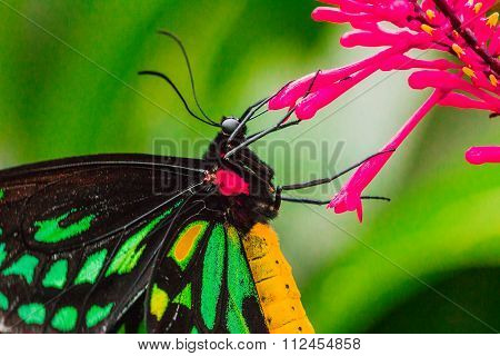 Common Birdwing butterfly  Macro shot