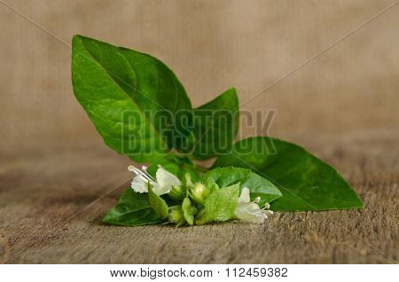 Sprig Of Fragrant Spicy Basil On The Table