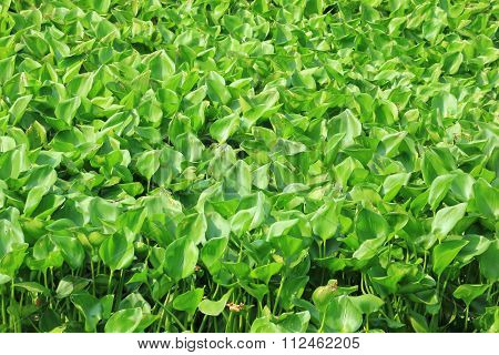 Environment Problem From Water Hyacinth
