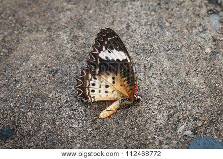 Dead Butterflies On Street