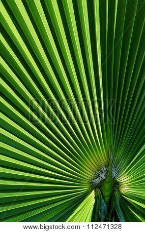 Fan Shaped Palm Leaf