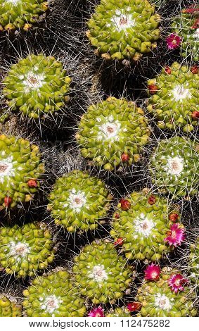 Spiny Green  Mammillaria Cactus With Little Red Flower