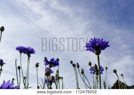 Purple Cornflower With Blue Sky Background