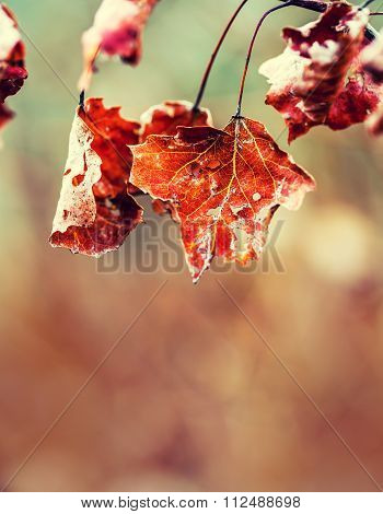 Autumn winter Leaves. Frozen autumn frost cold morning ice maple leaves. Frozen autumn leaves on the