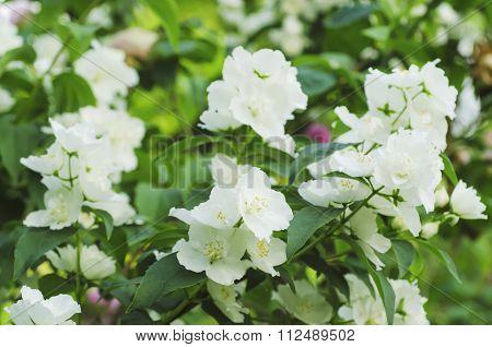 Jasmine flower in garden