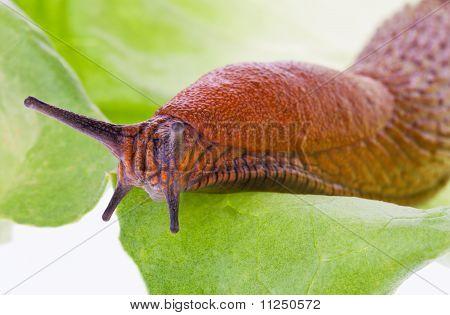 Slug on lettuce leaf