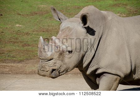 Portait Of A White Rhino Male In A Safari Park