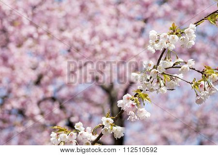 Cherry blossoms under blurs