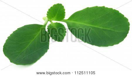 Medicinal Kalanchoe Leaves