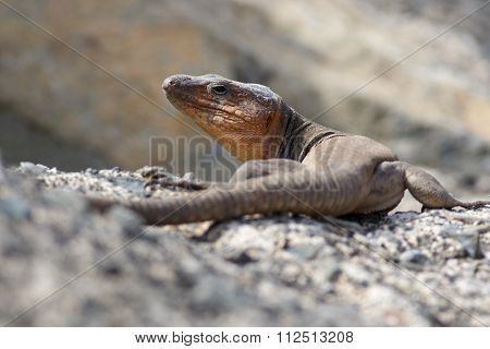 Gran Canaria Giant Lizard  Large Endemic Protected Reptile Species