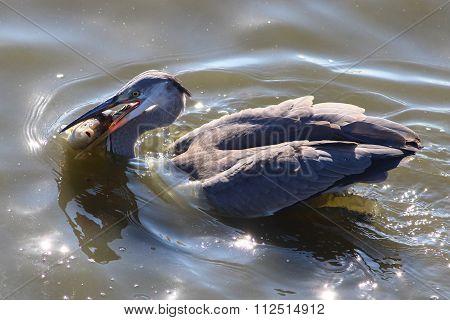 Grey Heron Catch Big Fish