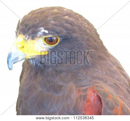 kestrel bird of prey  on a white background