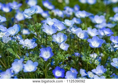 Field of Nemophila, or baby blue eyes Nemophila menziesii, California bluebell