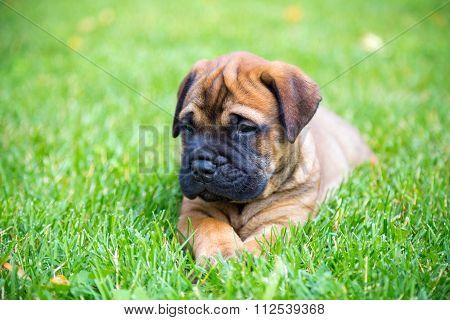 Bullmastiff Puppy Lying On A Lawn