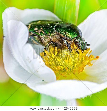 Beetle Brantovka Golden Or Brantovka Ordinary(lat. Cetonia Aurata)