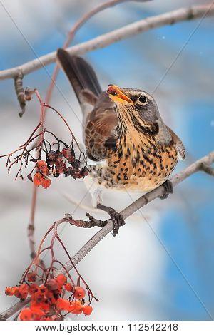 thrush eating Rowan berries in winter