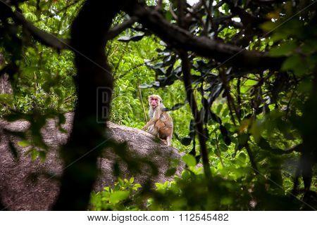 Female Toque Macaque Monkey