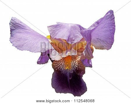 Raindrops On The Iris Petals