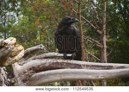 Pensive Raven