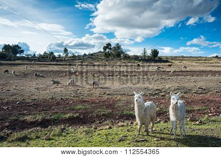 Llamas Are Front Of Terraced Inca Fields And Ruins Of Village In The Andes