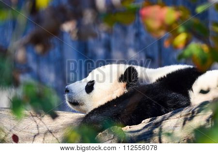 Giant Panda sleeps