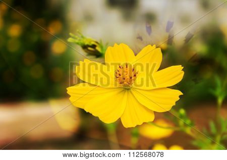 Beautiful Single Yellow Flower Sulfur Cosmos