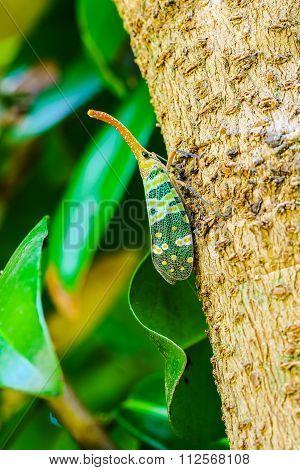 Lantern Fly Perch On A Tree