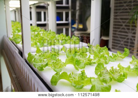 Plants cultivated in hydroponic system