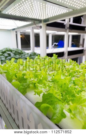 Organic hydroponic vegetable indoor
