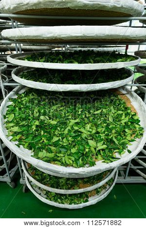 Processing of fermentation for tea in factory