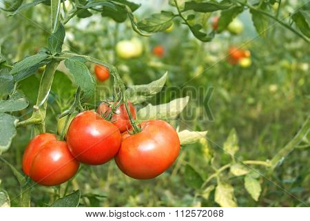 Red Tomatoes Ripening In Greenhouse